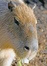 Free Capybara 4 Stock Image - 4325441