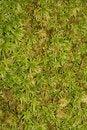 Free Moss Background Stock Image - 4325951