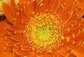 Free Detail Of Orange Gerber Royalty Free Stock Photos - 4326088