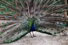 Free Peacock Stock Images - 4321454