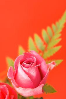 Free Pink Rose Royalty Free Stock Photo - 4321665