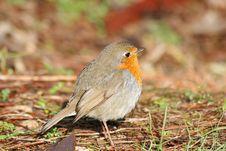 Robin Bird Close Shot Royalty Free Stock Images