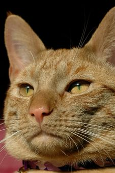 Free Red Tabby Royalty Free Stock Image - 4324646