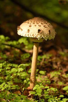 Free Mushroom Royalty Free Stock Photo - 4324665