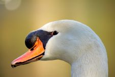 Free Swan Royalty Free Stock Photography - 4324757