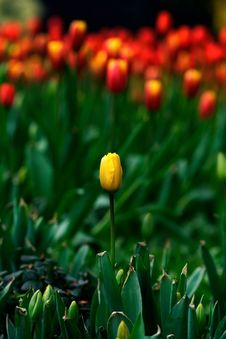 Free One  Yellow Tulip Royalty Free Stock Photos - 4325238