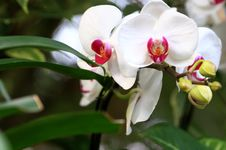 Free Orchid Stock Image - 4329111