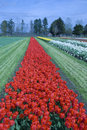 Free Multicolored Rows Of Flowers Stock Photos - 4336003