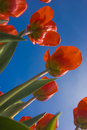 Free Orange Tulips Against The Blue Sky Royalty Free Stock Photography - 4336057