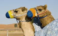 Free Camel Training - Young Camels In Training Stock Image - 4330631