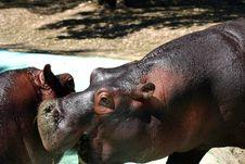 Free Hippopotamus Royalty Free Stock Image - 4331256