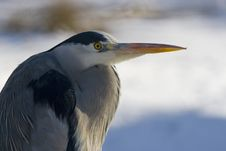 Free A Great Blue Heron Stock Photography - 4332492