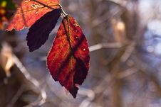 Free Red Leaf Stock Photos - 4332633