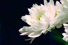 Free White Flower On Black Stock Photo - 4332680