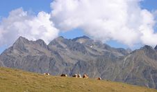 Free Group Of Cows Resting On A Meadow Royalty Free Stock Photo - 4332965