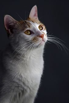 Free Kitten S Portrait. Royalty Free Stock Images - 4333399