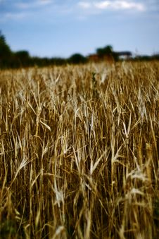 Free Harvested Wheat Field Royalty Free Stock Photo - 4333855