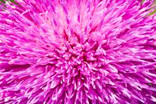 Free Thistle Petals Stock Photography - 4334352