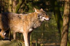 Free Wolf Royalty Free Stock Photos - 4334698