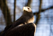 Free American Eagle Stock Photos - 4335083
