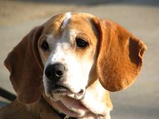 Free Beagle Watching Stock Photos - 4335623