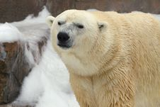Free Polar Bear In The Snow Stock Photography - 4336062