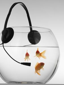 Red Fish In An Aquarium Who Listens To Music Royalty Free Stock Photography