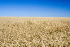 Free Field Of Rye Royalty Free Stock Photography - 4337167