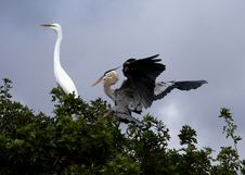 Free White Egret And Blue Heron Stock Images - 4337424