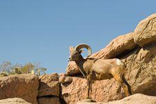 Free Big Horn Sheep Royalty Free Stock Photos - 4337618