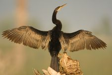Free Anhinga Drying His Wings Royalty Free Stock Images - 4337769