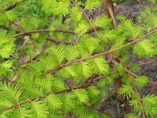 Free Spring Acacia Royalty Free Stock Photo - 4338195