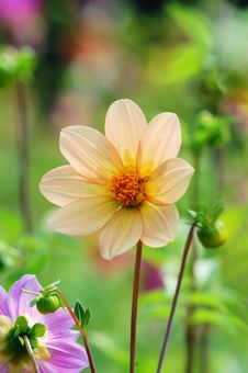 Free Dahlia Flower Stock Images - 4338764
