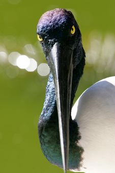 Black Necked Stork Stock Photos