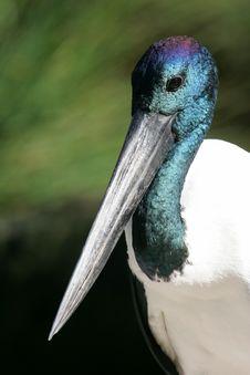 Black Necked Stork Royalty Free Stock Photos