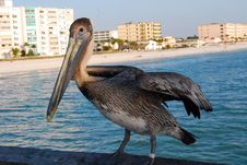 Free Pelican Royalty Free Stock Photography - 4338927