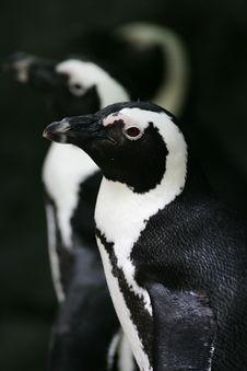 Free Magellan Penguin Stock Image - 4339161
