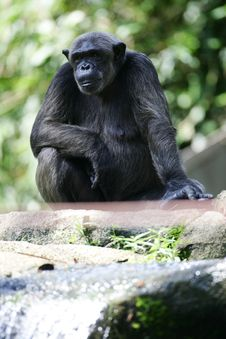 Free Chimpanzee Stock Photography - 4339182