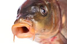 Free Fish Carp Royalty Free Stock Images - 43326739