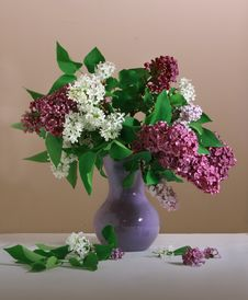 White And Purple Lilac Stock Photos