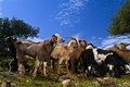 Free Goats In The Pasture Stock Photo - 4343900