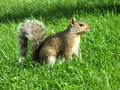 Free Grey Squirrel Royalty Free Stock Images - 4346529