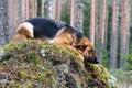 Free Germany Sheep-dog Royalty Free Stock Images - 4347069