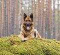 Free Germany Sheep-dog Royalty Free Stock Images - 4347089