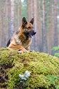 Free Germany Sheep-dog Stock Images - 4347214