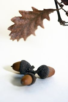 Free Acorn Isolated Royalty Free Stock Photography - 4340557