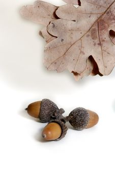 Free Acorn Isolated Royalty Free Stock Images - 4340569