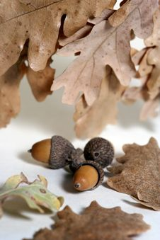 Free Acorn Isolated Royalty Free Stock Photography - 4340577