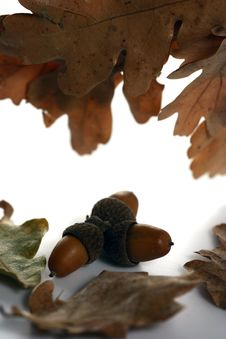 Free Acorn Isolated Stock Photo - 4340580