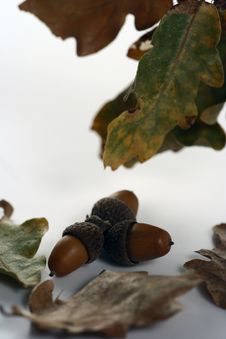Free Acorn Isolated Stock Photos - 4340583